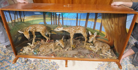 white tail deer fawns in cabinet