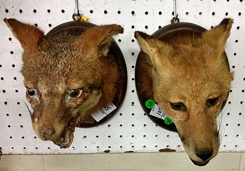 Mounted heads of red fox, apparently from a hunt.